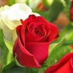 Sexualité  – Qu'est ce que la «feuille de rose» ?
