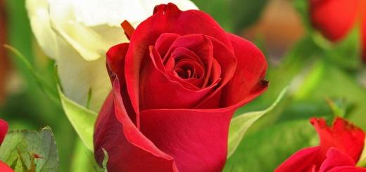 feuille de rose définition